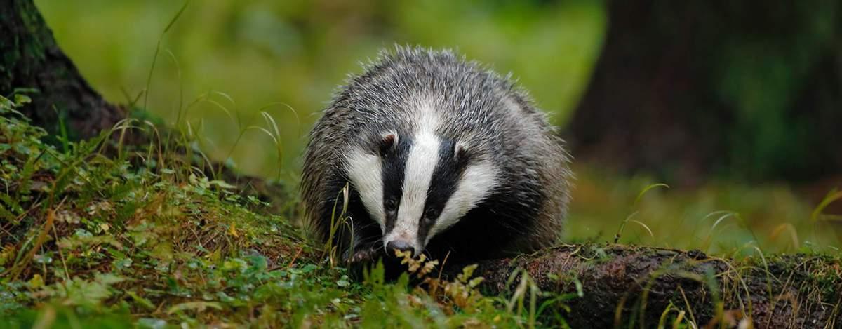 Badger Trust West Sussex group